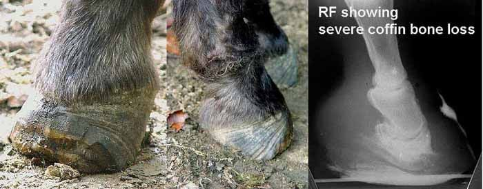 Treating Founder Chronic Laminitis Without Shoes Home Page
